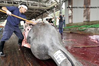 Japonia, invinsa in justitie de balene. Tribunalul suprem al ONU a interzis vanarea lor