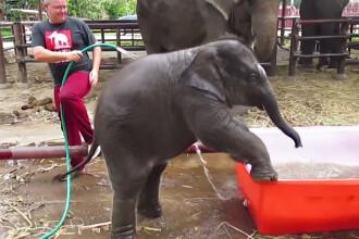 iLikeIT. Viralul saptamanii: un pui de elefant din Thailanda are necazuri in piscina