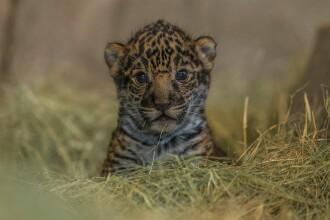 Eveniment la Gradina Zoologica din San Diego. Publicul a vazut pentru prima data puiul de jaguar de doar 2 saptamani