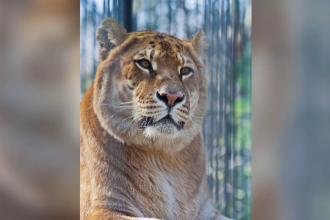 Proiectul comun al cercetatorilor rusi si sud-coreeni. Vor sa cloneze un leu dintr-o specie care a trait acum 12.000 de ani