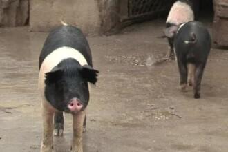 Porcul romanesc moare degeaba. Pretul de import bate gustul autohton: cata din carnea pe care o consumam e produsa in tara