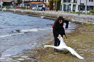 O lebada a murit pe malul lacului, dupa ce o turista a bruscat-o pentru a se poza cu ea. Cazul a stranit revolta tuturor