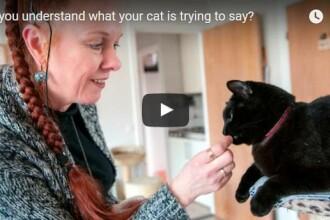VIDEO Oamenii de stiinta suedezi incearca sa desluseasca limbajul pisicilor