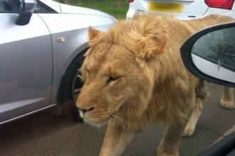 Un leu a ajuns pe strazile capitalei Kenyei. In acest timp, unii incercau sa-si faca selfie-uri cu animalul. VIDEO