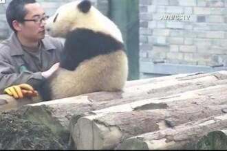 Cum invata un ursulet panda sa isi faca un selfie. Imaginile au cucerit internetul