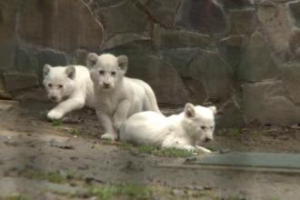 Trei pui de leu, albi complet, noua senzatie din parcul zoo din Budapesta. Felinele de 2 luni au iesit prima data afara