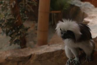 O maimutica Tamarin, noua vedeta a gradinii zoologice de la Bucuresti. Peper se lupta in fiecare zi pentru viata ei