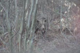 Operatiune greoaie pentru salvarea unui urs prins intr-un lat, intr-o padure din Bacau.