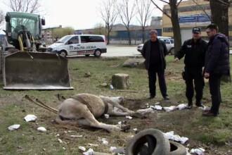 Un cal a fost lasat sa se chinuie o zi intreaga pe o strada din Iasi. Politistii au vazut ce se intampla si nu au facut nimic