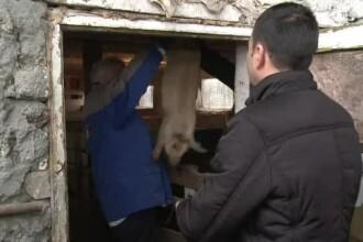 Ministrul Daea a început să le împartă porci fermierilor. Cererea, de 10 ori peste ofertă