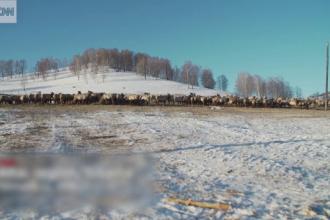 Cerbilor din Siberia li se taie coarnele pentru sângele care ar avea proprietăți miraculoase