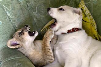 Un pui de leopard a fost crescut de un câine, după ce mama sa a început să-și mănânce puii