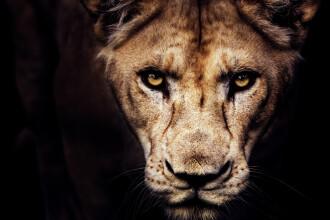 Îngrijitor, ucis de un leu după ce nu a închis cușca în mod corespunzător