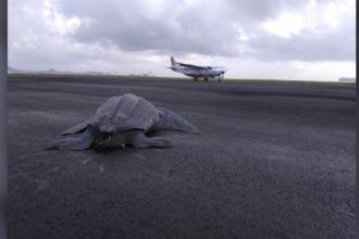 Broască țestoasă uriașă, pe pista de aterizare a unui aeroport din Costa Rica