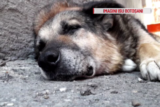 Rex, câinele care a păzit 13 ani sediul ISU Botoșani, operat cu ajutorul pompierilor