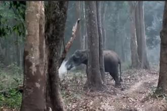 """Elefant surprins """"fumegând"""", după ce a mâncat cărbuni. VIDEO"""