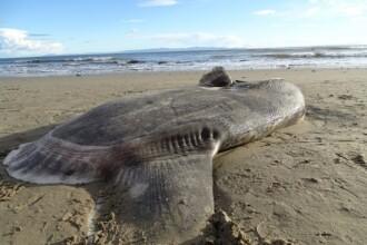 """Creatura marina ciudata, gasita pe o plaja. Cercetator: """"Aproape am căzut de pe scaun"""""""