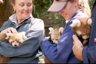 Trei pui de panda roșu, noua atracție de la grădina zoologică din Sydney