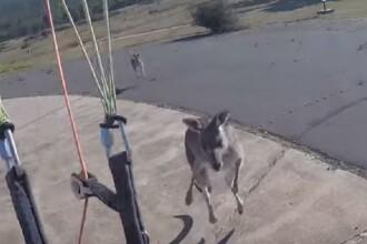Un australian care se dădea cu parapanta, atacat de un cangur furios la aterizare. VIDEO