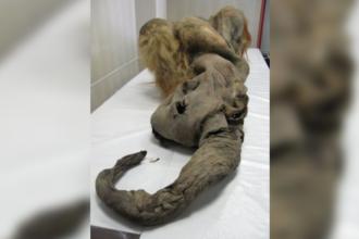 """Experiment foarte important. Cercetătorii au reușit să """"învie"""" celulele unui mamut lânos"""