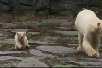 Ursuleţul polar născut la Zoo Berlin, prima apariție în public. VIDEO