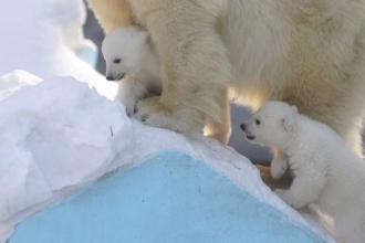 Doi pui de urs polar topesc inimile vizitatorilor de la grădina zoologică din Siberia