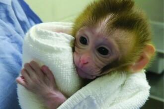 Reușită istorică. S-a născut prima maimuță din țesut testicular congelat și decongelat