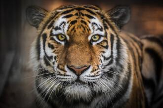 Un bătrân bolnav de inimă a învins un tigru care-i mânca vacile. De ce riscă închisoarea