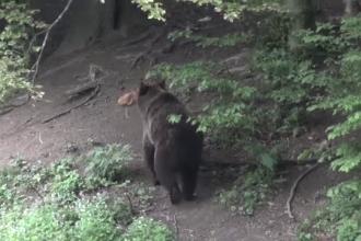 Ministerul Mediului, aviz pentru împuşcarea unui urs din Buzău. De ce s-au plâns localnicii