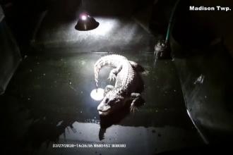 Motivul pentru care un aligator a fost ținut în beci timp de 25 de ani