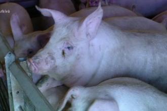 Tradiţia tăierii porcului este sub semnul întrebării anul acesta. Pesta porcină a reapărut în România