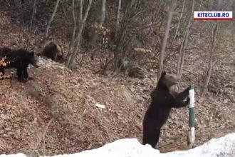 Panică în Sinaia. Trei urși, care și-au făcut apariția la cota 1400, i-au pus în alertă pe jandarmi