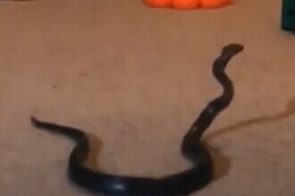 VIDEO. O mamă din Australia a găsit un șarpe veninos printre jucăriile fiicei sale