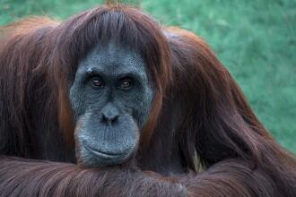 Maimuțele de la o grădină zoo din SUA, primele primate non-umane care primesc un vaccin anti-Covid
