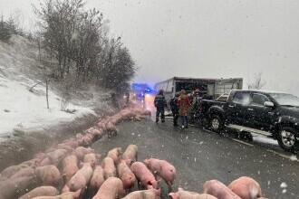 Camion cu 600 de porci, răsturnat în judeţul Bistriţa-Năsăud. VIDEO