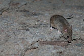 """Australia se confruntă cu o invazie """"monumentală"""" de şoareci. VIDEO"""