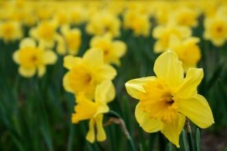 Narcisele pot incetini evolutia maladiei Alzheimer
