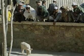 SINGURUL PORC din Afganistan, in carantina de teama gripei!