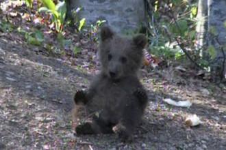 Vezi o GALERIE FOTO cu puiul de urs inainte de a fi calcat de masina!