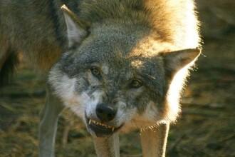 Trei bistriteni au fost muscati de un lup turbat!