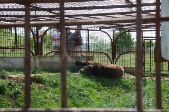 Urs tinut captiv in spatele unei benzinarii din Alba!