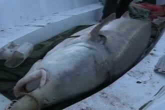 VIDEO. Monstrul de peste 600 de kilograme. A fost nevoie de 12 oameni ca sa il tina in frau