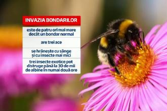 Stare de alerta in Craiova. Oameni atacati de bondarii uriasi, din Asia, care au invadat orasul