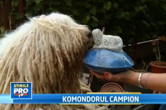 Komondor campion. Raro este cel mai frumos caine din lume