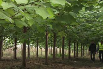 Afacerea cu arbori minune care aduce un profit de 10.000 de euro pe an. Lemnul de paulownia si-a facut intrarea in Romania