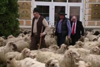 Proteste in centrul orasului Sacele. Ciobanii au venit cu turmele de oi in fata primariei: