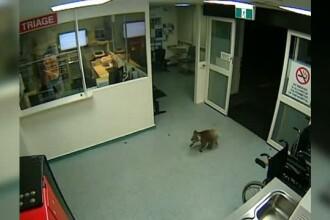 Cum a ajuns un urs koala la un spital din Australia. Camerele de supraveghere au surprins intreaga aventura
