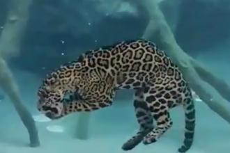 Video viral, urmarit de peste 4 milioane de ori. Un jaguar isi arata talentele inedite in mediul subacvatic