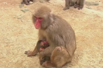 Scandal in Japonia, dupa ce un pui de macac a primit numele printesei Charlotte a Marii Britanii