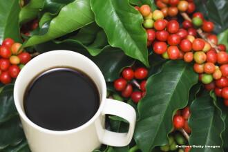 Cafeaua ar putea deveni un lux. Multe plantaţii sunt în pericol să dispară în viitorul apropiat